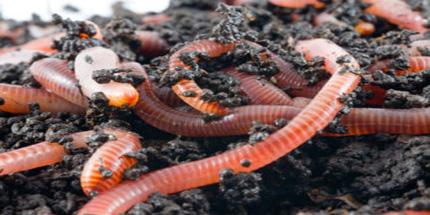 Compost/Tijgerwormen zijn onmisbaar voor goede compost