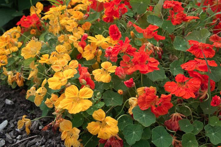 Eetbare zomerbloemen