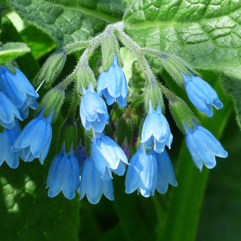 Blauwe smeerwortel
