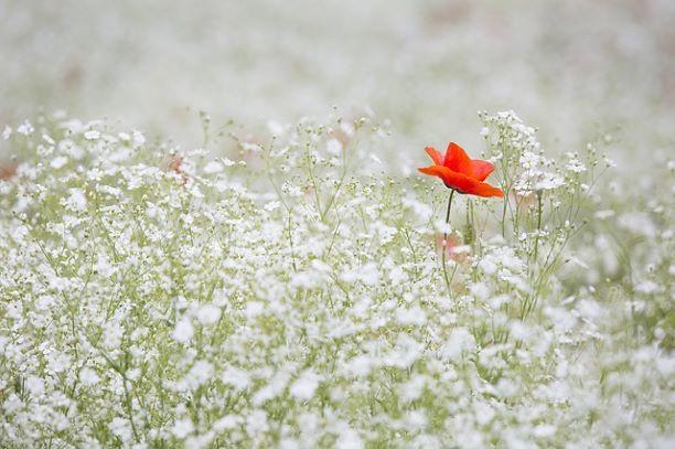 Planten voor droge grond Gipskruid