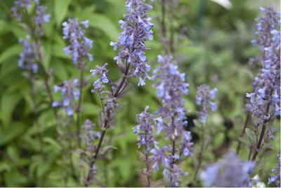 Planten voor droge grond Nepeta