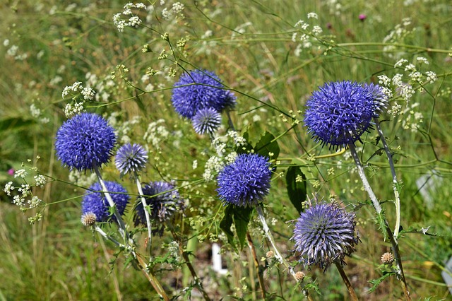 Planten voor droge grond Kogeldistel