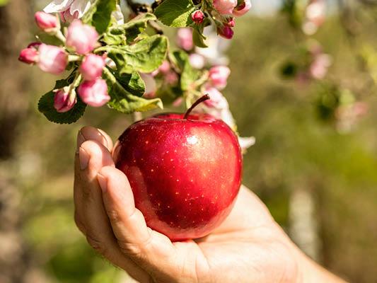 Fruitbomen snoeien, de appelboom